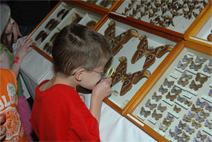 boy looking at an atlas moth specimen