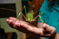 Giant Katydid in hand