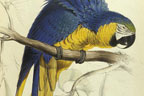 Macaw illustration by Edward Lear