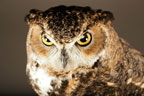 K.C. the great horned owl