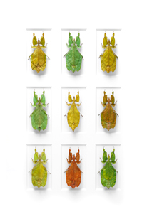 leaf insects, copyright Christopher Marley