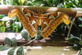 atlas moth. Photo by Mike Servedio/ANS