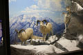 Dall's Sheep Diorama. Photo by Mike Servedio