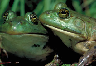 2 green bullfrogs by Chad Peeling's Reptiland