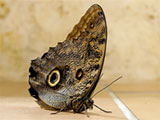 Owl Butterfly, Photo by Colin Purrington