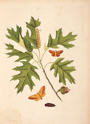 Illustration from Abbots Lepidoptera