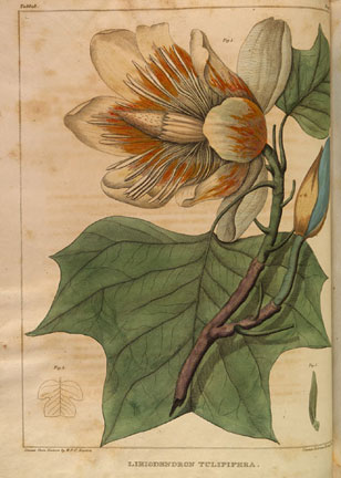 botanical illustration from Barton's Medicinal Plants