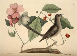 illustration from Catesby's Natural History