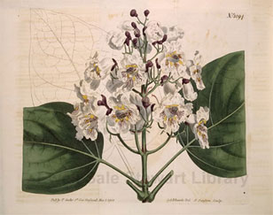 botanical illustration from Curtis' Botanical Magazine