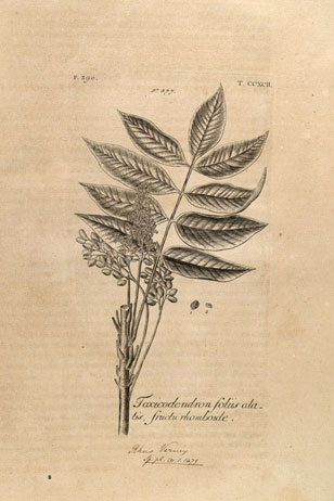botanical illustration from Dillenius' Hortus Elthamensis