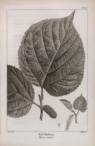 botanical illustration from François Michaux's North American Sylva