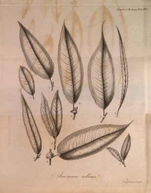 botanical illustration from Muhlenberg's Willows