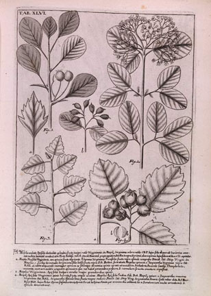 botanical illustration from Plukenet's Phytographia