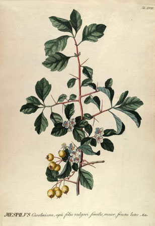 botanical illustration from Trew's Selected Plants