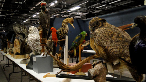 many mounted bird specimens along a long table