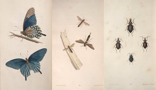three plates of insect illustrations from American Entomology