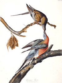 Audubon's illustration of two passenger pigeons