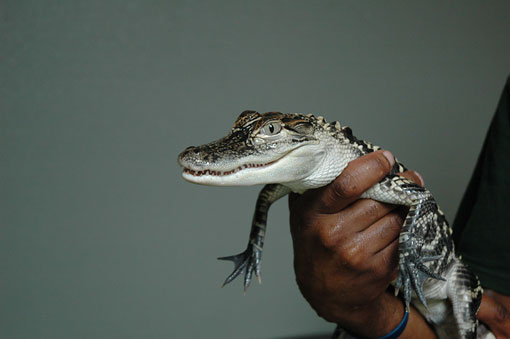 baby alligator held by live animal keeper