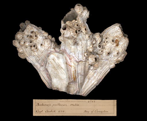 barnacle specimen donated by John Aulick