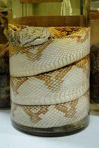 photo of bushmaster snake specimen