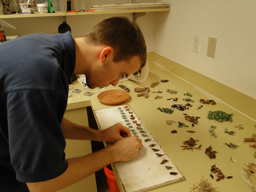 Academy staffer preparing live butterfly pupae for the pupation chamber