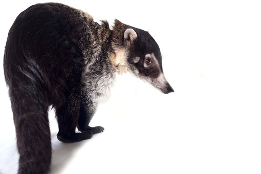 Jodie the white-nosed coati