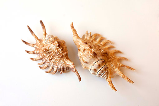 two specimens of the millipede spider conch (Lambis millepeda)