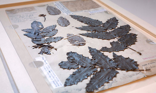 herbarium sheet from the Lewis and Clark expedition