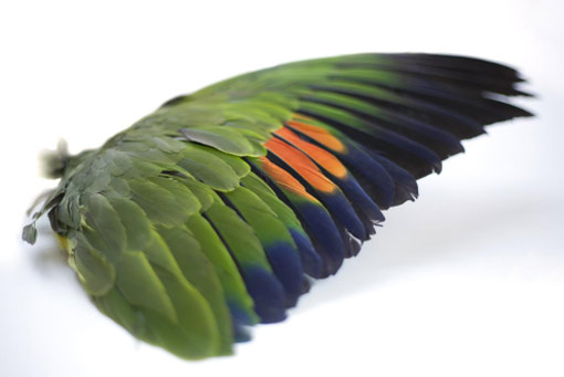 wing specimen of the orange-winged parrot