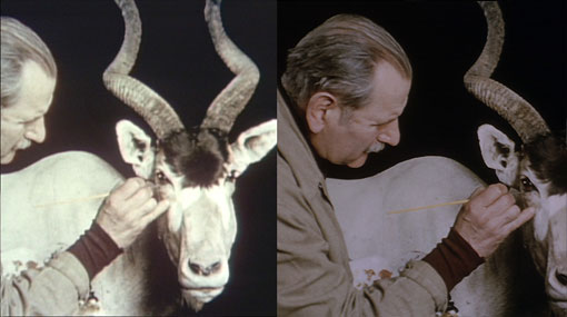 before and after film stills of preparing an antelope for a diorama