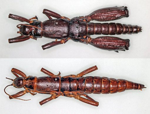 male and female specimens of the land lobster