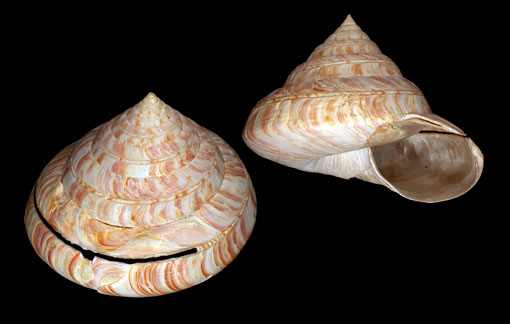 two views of a marine snail shell