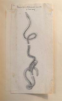 illustration of a nematode parasite