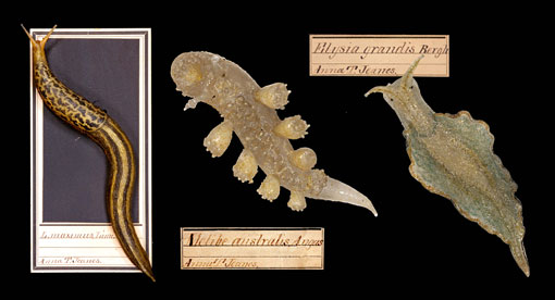 three glass slugs crafted by Leopold and Rudolf Blaschka