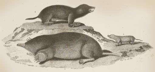engraving of small mammals