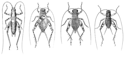 illustration of four crickets