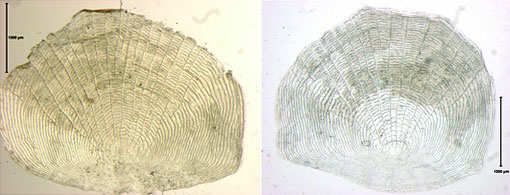 micrograph of fish scales from 1874 and 2010