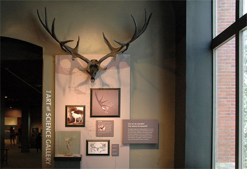 skull and antlers of the Irish Elk