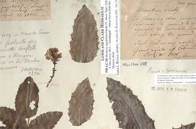 Herbarium sheet of Berberis from the Lewis and Clark Herbarium