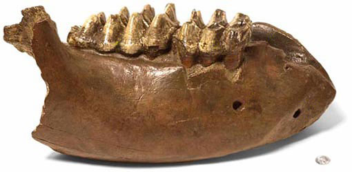 fossil lower jaw of an American mastodon