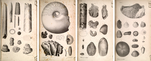 illustrations of fossil invertebrates