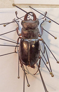 pinned specimen of a stag beetle