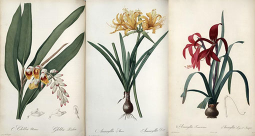three illustrations by Redouté of lilies from Les Liliacées