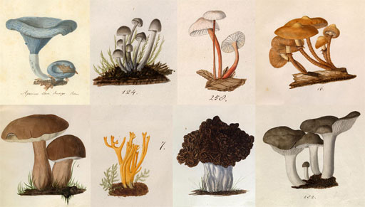 drawings of mushrooms by Lewis David von Schweinitz