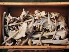 box containing a jumble of bones from Robert Peary's sled dogs