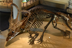 A skeletal mount of Chasmosaurus in Dinosaur Hall