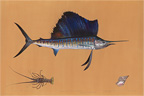 detail, atlantic sailfish painting by James Prosek