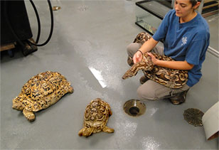 Live Animal Center staffer with a python and two tortoises