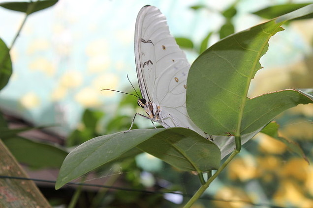 white morpho butterfly photo by Daniel King